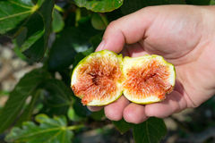 Fig fruit in hand Stock Photos
