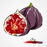 Fig fruit. Hand drawn vector ripe purple fig fruit on light background Stock Photo