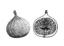 Fig fruit illustration old lithography style hand drawn Stock Photo