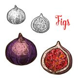 Fig fruit isolated sketch with fresh exotic berry. Fig fruit isolated sketch of asian plant berry. Fresh fig fruit with violet peel and crispy seed icon for Stock Photography