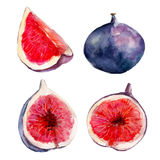 The fig fruit set isolated on white background, watercolor illustration. The fig fruit set isolated on white background, watercolor hand drawn illustration Stock Images