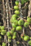 Fig fruit. Fig Tree With Fruits Growing On The Branches stock image