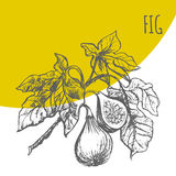 Fig fruit vector botanical illustration sketch plant. Fig fruit vector sketch botanical plant illustration. Exotic tropical figs fruit sketch Royalty Free Stock Images