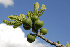 Fig Fruits And Leaf Royalty Free Stock Image