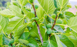 Fig fruits during summer with a fresh green look Royalty Free Stock Photos