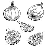 Fig graphic set black white isolated sketch illustration. Vector Stock Photo