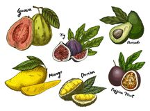 Fig and guava, avocado and mango,maracuya sketches. Set of isolated sketches of tropical fruits like common fig and guava, avocado or alligator pear, mango and Stock Image