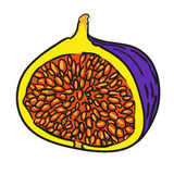 Fig hand drawn fruits isolated vector Royalty Free Stock Photo