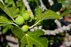 Fig in Igrane Royalty Free Stock Photography