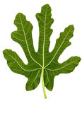 Fig leaf Royalty Free Stock Photography