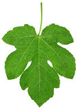 Fig leaf. Isolated on white, clipping path included Royalty Free Stock Photography