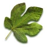 Fig Leaf stock image