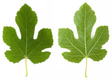Fig leaf Stock Photo