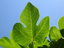Fig leaf. With sky background Royalty Free Stock Photography