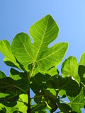Fig leaf. With sky background Stock Photo