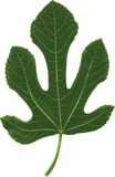 Fig leaf. Vector illustration of the fig leaf in three green colors Royalty Free Stock Image