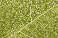 Fig leaf. Nerves close-up stock images