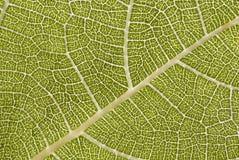 Fig leaf. Nerves close-up Stock Images