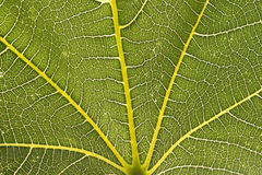 Fig leaf closeup Stock Photos