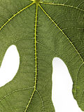 Fig leaf detail isolated on white. Detailed view of fig leaf green surface royalty free stock photography
