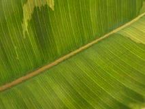fig leaf Stock Photos