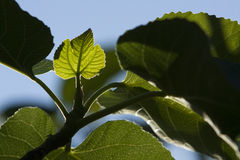 Fig Leaf Stock Photography
