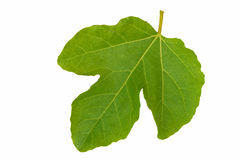 Fig leaf - isolated over white. Royalty Free Stock Photo