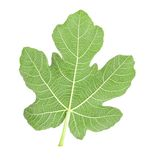 Fig leaf Stock Photos