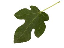 Fig leaf - isolated on white. Fresh fig leaf on white background Royalty Free Stock Images