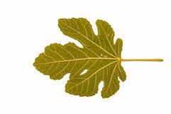 A fig leaf Stock Photos