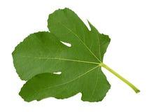 Fig leaf isolated on white background royalty free stock photos