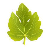 Fig leaf Royalty Free Stock Images