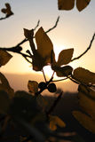 Fig leaf. With sun ray in Sicily Stock Photos