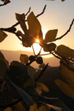 Fig leaf. With sun ray in Sicily Royalty Free Stock Photography