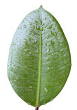 Fig leaf with water drops. Isolated photo with clipping patch Stock Photography