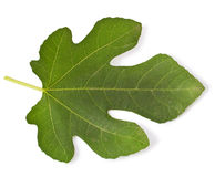 Fig leaf Stock Image