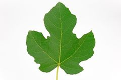 Fig leaf on white background Royalty Free Stock Image