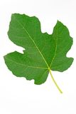 Fig leaf on white background Royalty Free Stock Images