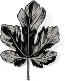 Fig leaf on a white. Background Royalty Free Stock Images