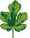 Fig leaf on a white. Background Stock Image