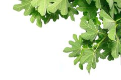 Fig leaves Royalty Free Stock Photo