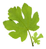 Fig leaves Royalty Free Stock Images