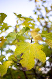 Fig leaves in autum Stock Photos