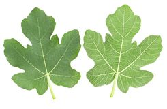 Fig leaves Stock Photo