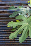 Fig leaves. And a rusty metal grate as background Royalty Free Stock Image