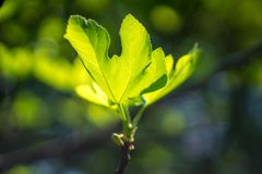 Fig leaves on tree. royalty free stock photo