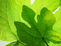 Fig leaves two. Two Fig leaves backlit color green Stock Images