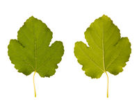 Fig. one leaf - two sides Stock Photo
