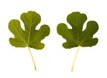 Fig. one leaf - two sides Royalty Free Stock Photos