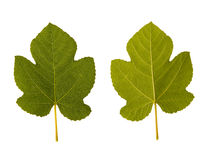 Fig. one leaf - two sides Stock Photos